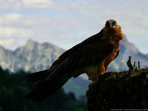 wallpaper: 'Bearded Vulture' - Flora & Fauna