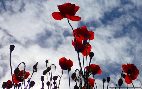 wallpaper: 'Red poppies ' - Flora & Fauna
