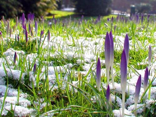 wallpaper: Crocussen, Flora & Fauna