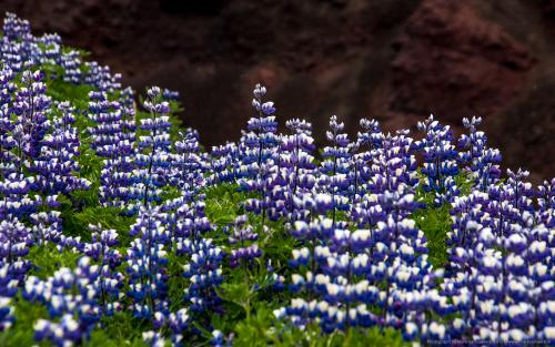 wallpaper: 'More Lupine' - Iceland