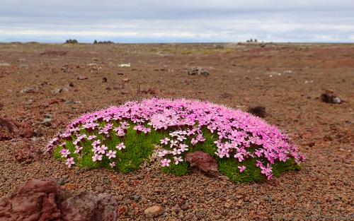 wallpaper: 'Small Flowers on lava' - Iceland