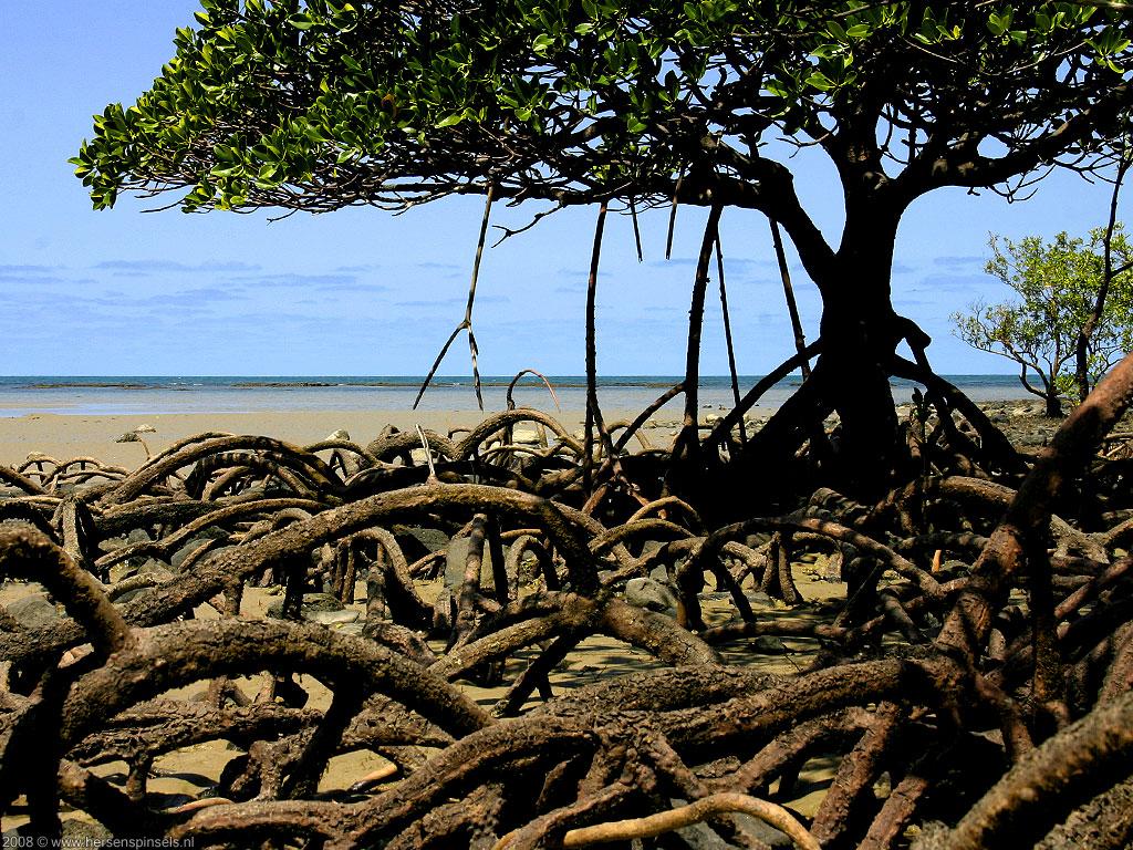 Mangroves In Australia