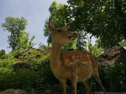 wallpaper: 'Fallow Deer' - Flora & Fauna