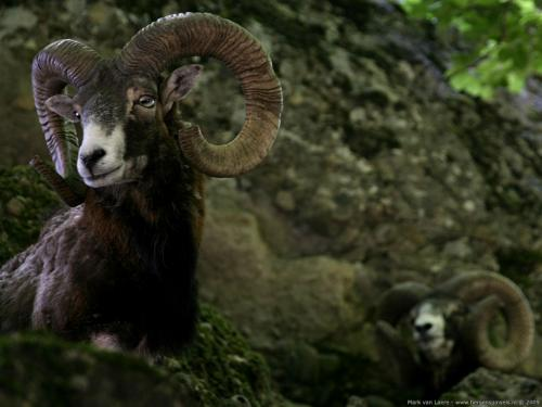 wallpaper: 'Mouflon' - Flora & Fauna