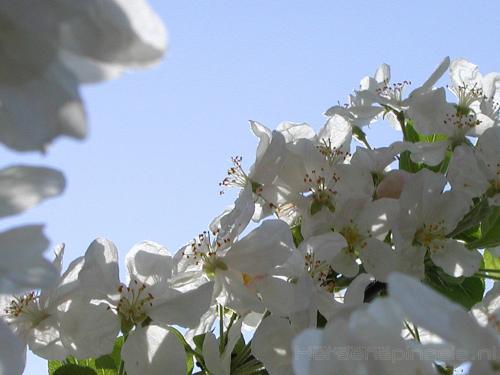 wallpaper: Appelbloesem, Flora & Fauna