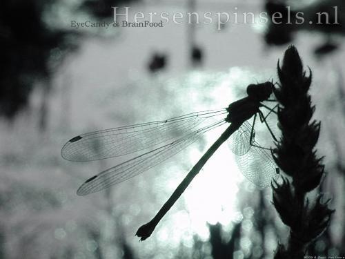 wallpaper: Libelle, Flora & Fauna