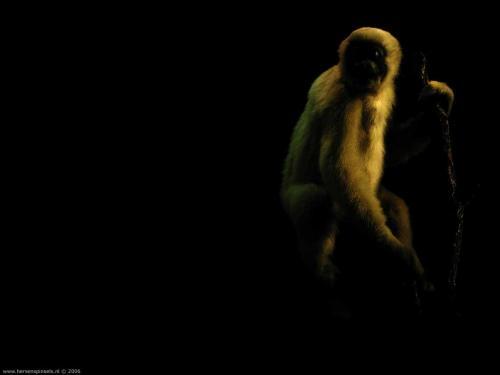 wallpaper: 'White-handed Gibbon' - Flora & Fauna