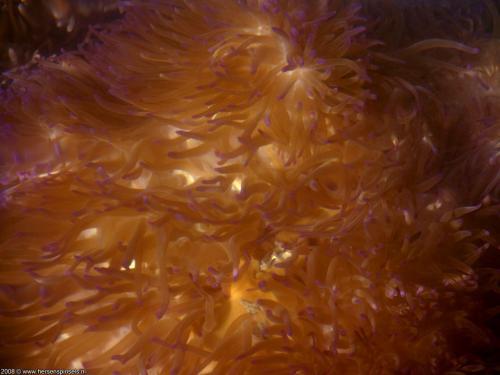 wallpaper: Zee Anemone, Australië