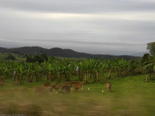 wallpaper: Bananen en koeien, Australië