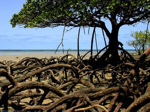wallpaper: Mangroves, Australië