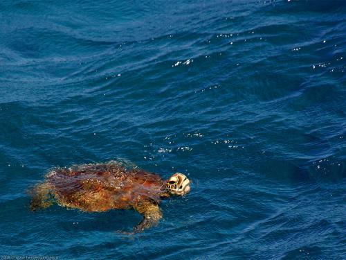 wallpaper: Groene  zeeschildpad (Chelonia mydas), Australië