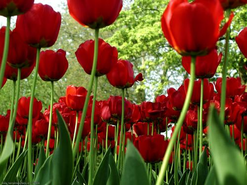 wallpaper: Hollandse tulpen in Dokkum, Flora & Fauna