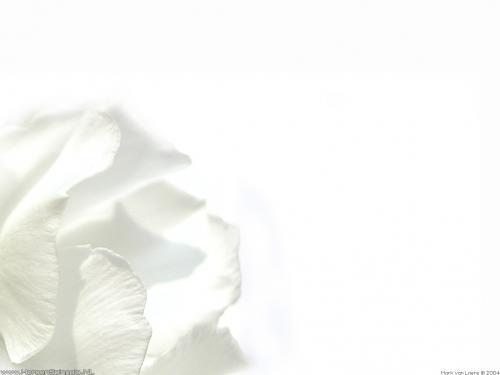 wallpaper: 'White oleander' - Flora & Fauna